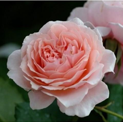 Halványrózsaszín ágyásrózsa - 'Lousie de Marillac'