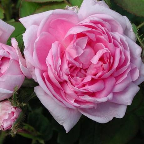 Rózsaszín történelmi rózsa - 'Marie de Blois'