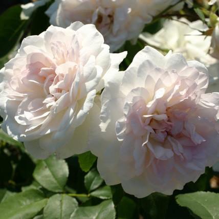 Krémszínű, romantikus rózsa -'Martine Guillot'