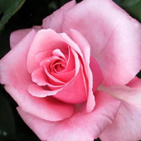 Rózsaszín tearózsa - 'Meichim'