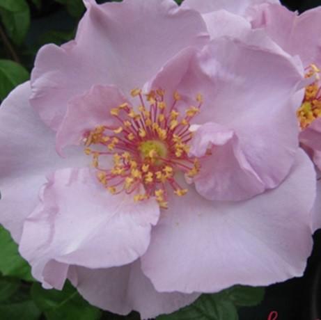 Rózsaszín ágyásrózsa - 'Mevrouw Nathalie Nypels'