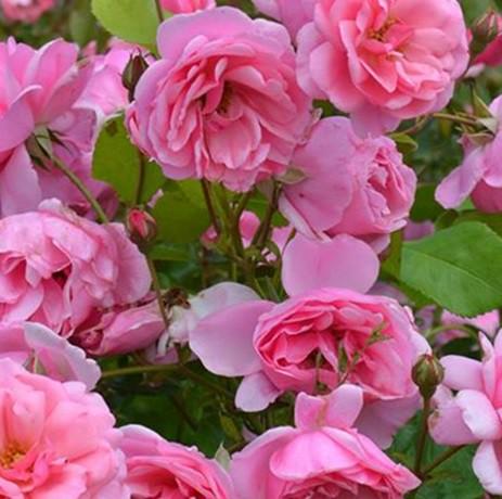 Rózsaszín ágyásrózsa - 'Milrose'