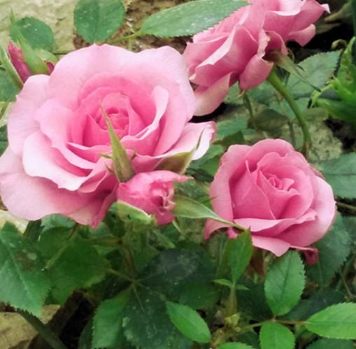 Rózsaszín törperózsa 'Blush Parade'