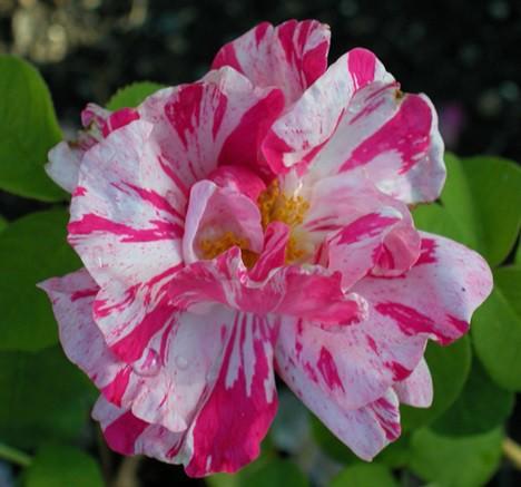 Rózsaszín-fehér csíkos történelmi rózsa - 'Mundi'
