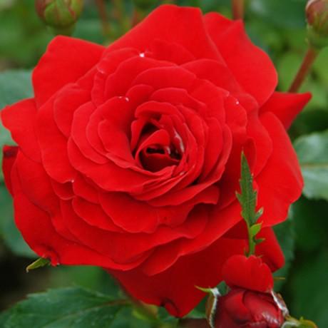 Vörös ágyásrózsa - 'Nina Weibull'