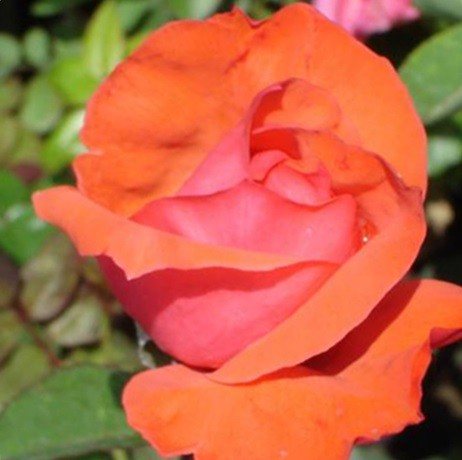 Narancsszínű tearózsa - 'Ondella'