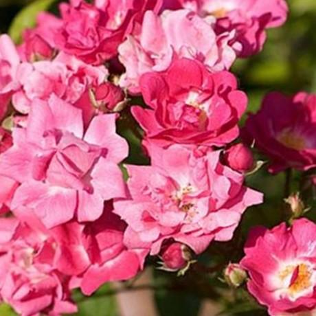 Lilás-piros ágyásrózsa - 'Orleans Rose'