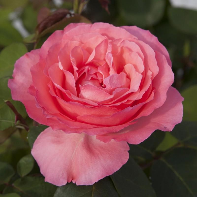 Sötétrózsaszín tearózsa . 'Panthére rose'
