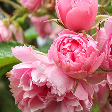 Pink színű bokor rózsa - 'Pink Grooterndorst'