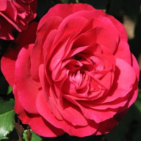 Vörös ágyásrózsa - 'Pompadour Red'