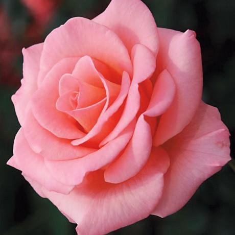 Rózsaszín törperózsa - 'Rennie's Pink