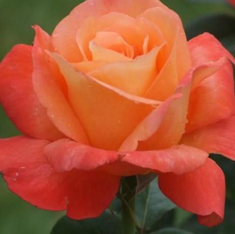 Vörös-korallszínű ágyásrózsa - 'Rosalynn Carter'