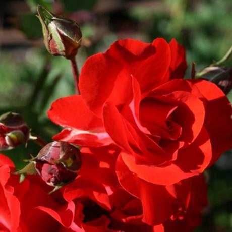 Vörös ágyásrózsa - 'Satchmo'