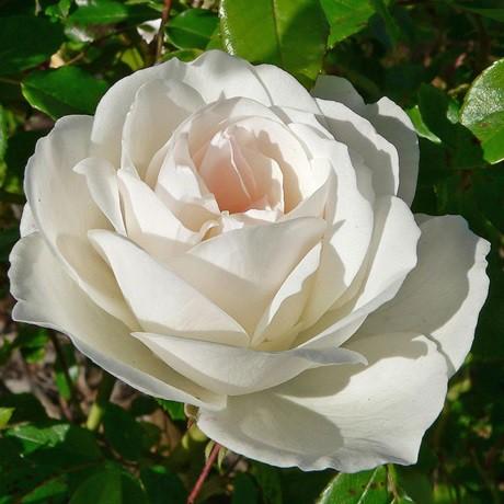 Fehér bokor rózsa - 'Scneewittchen'