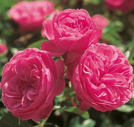 Világos rózsaszín ágyásrózsa - 'Sidney Paebody''
