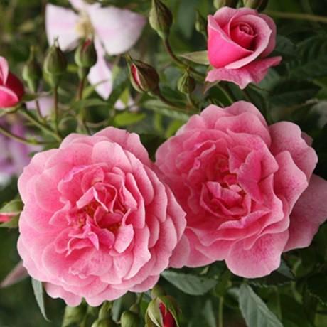Lilás-rózsaszín ágyásrózsa - 'Sorbet Pink'
