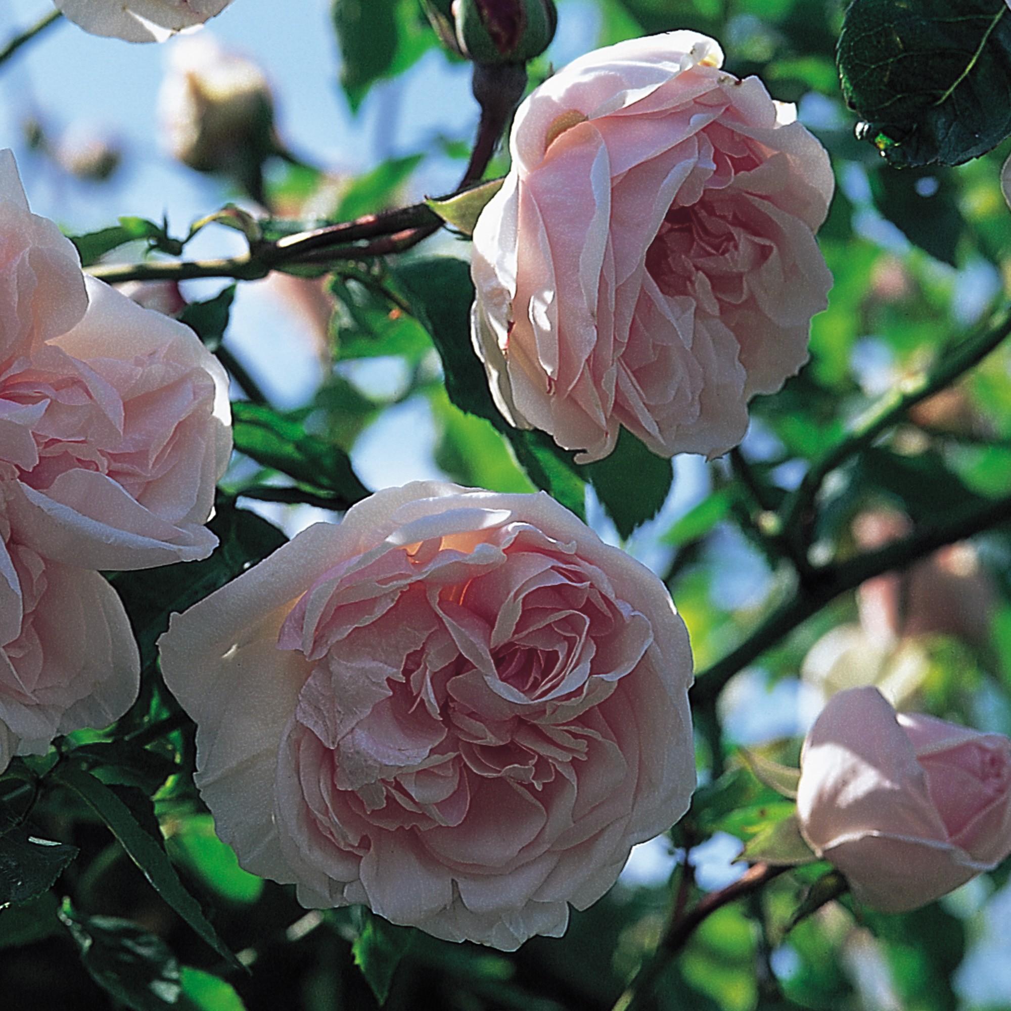 Fehér történelmi rózsa - 'Souvenir de la Malmaison'