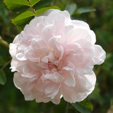 Fehér történelmi rózsa - 'Stanwell Perpetual'
