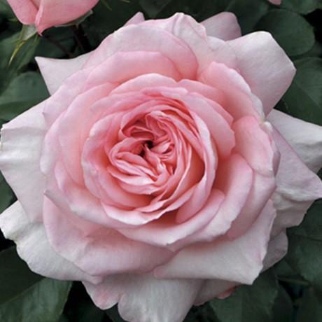 Rózsaszín  bokor rózsa - 'Szent Erzsébet'