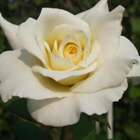 Fehér ágyásrózsa - 'Szent Margit'