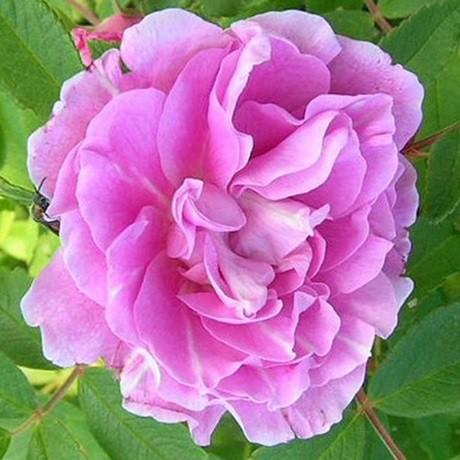 Rózsaszín - cirmos bokor rózsa - 'Therese Bugnet'
