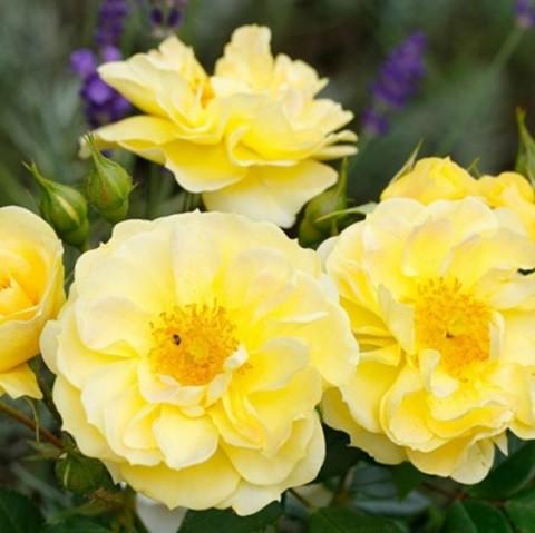 Sárgaszínű ágyásrózsa - 'Tibet-Rosen'