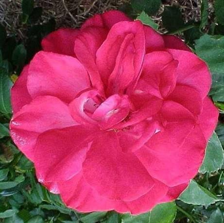 Mély rózsaszín futórózsa - 'Titian'