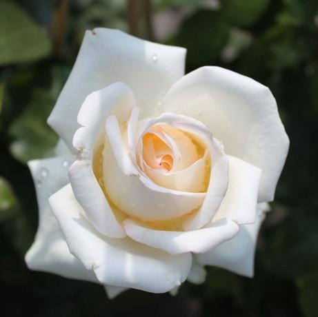 Fehér tearózsa - 'Virgo'