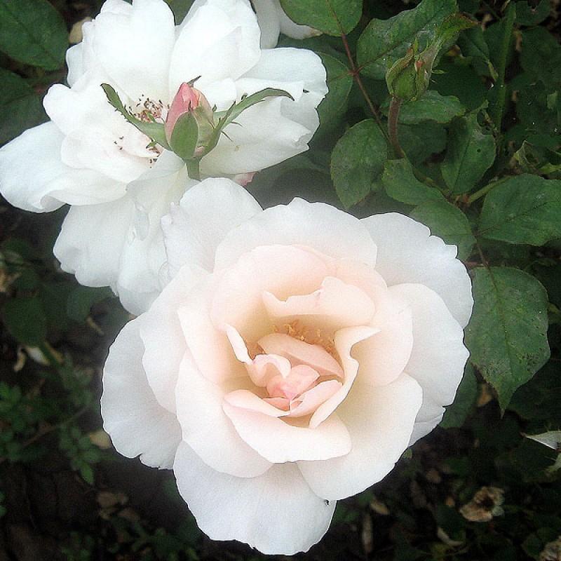 Fehér ágyásrózsa -'White Queen Elizabeth'