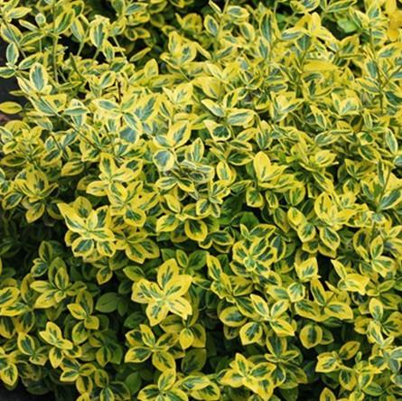 Sárga-tarka kúszó kecskerágó 'Emerald N Gold'