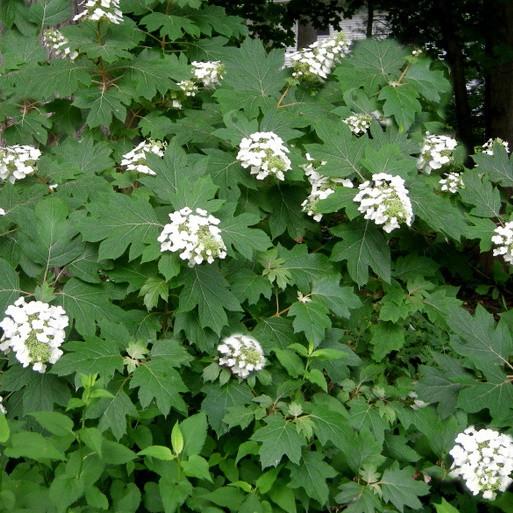 Tölgylevelű hortenzia 'Amethyst' (extra nagy méret)