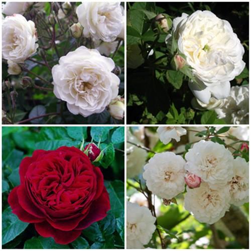 Vidéki kert - futó és bokor rózsák 4 db
