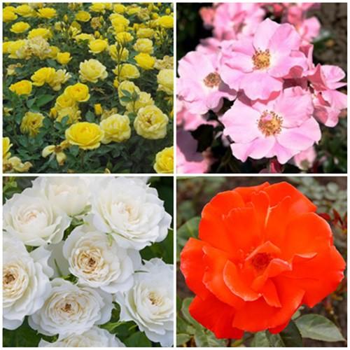 Vidéki kert - törpe rózsák 4 db