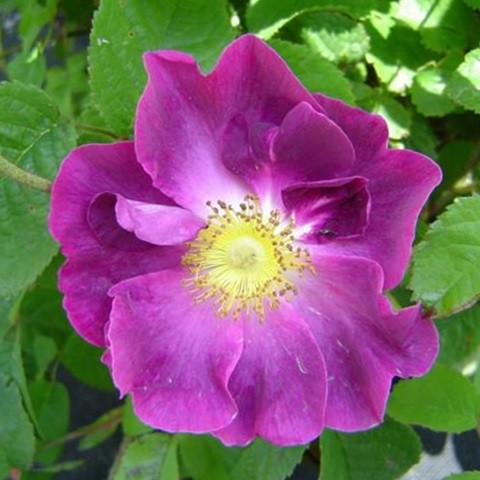 Lila történelmi rózsa - 'Violacea'