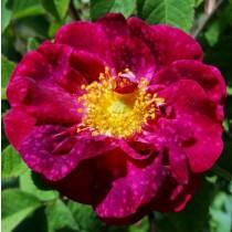 Rózsaszín történelmi rózsa - 'Alain Blanchard'