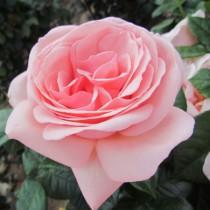 Barackrózsaszín romantikus rózsa - 'Aphrodite'