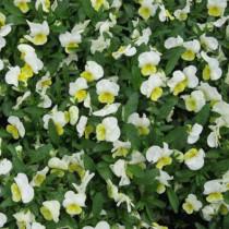 Szarvacskás évelő árvácska 'Primrose' - fehér-sárga