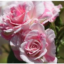 Fehér,rózsaszíncsíkos ágyásrózsa-'Berlingot'