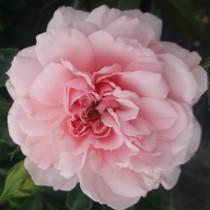 Rózsaszín romantikus rózsa 'Blush Winterjewel'