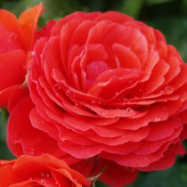 Vörös törperózsa - 'Chica Flower Circus'