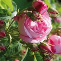 Rózsaszín történelmi rózsa - 'Comte de Chambord'