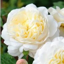 Fehér romantikus rózsa 'Crocus Rose'