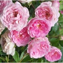 Rózsaszínű futórózsa - 'Frau Eva Schubert'