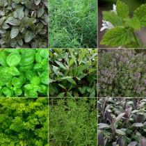 Fűszer és gyógynövénykert - ínyenc2. 9db