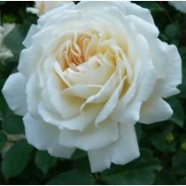 Fehér ágyásrózsa - 'Weisse Grüss an Achen'