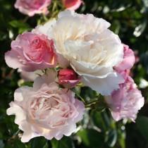 Krémszínű romantikus rózsa -'Herkules'