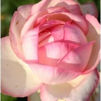 Rózsaszín -fehér ágyásrózsa - 'Honore de Balzac'