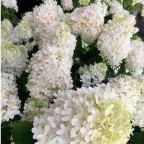 Óriásvirágú bugás hortenzia 'Grandiflora'
