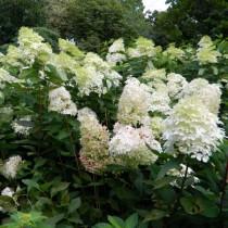 Krémfehér bugás hortenzia 'Kyushu'