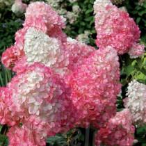Bugás hortenzia 'Pink Lady'